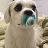 Puppy loves pacifier animated GIF