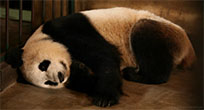 Sleepy panda moving picture