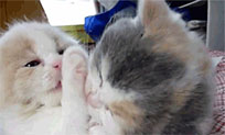 Kissing kittens animated GIF
