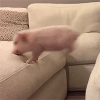 Pigs jumping moving picture