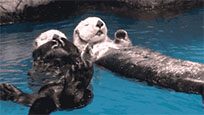 Otters holding hands animated GIF