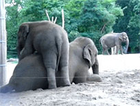 Baby elephant playing animated GIF