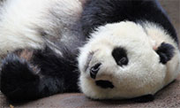 Sleeping panda with tongue moving picture