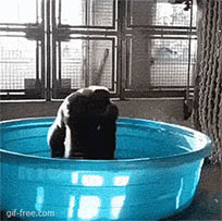 Gorilla enjoys pool moving picture