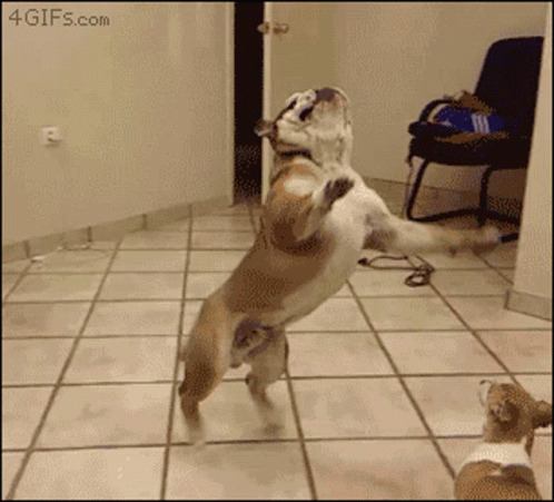 Funny Animals Bulldog animated GIF