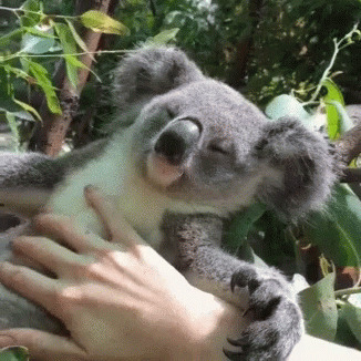 Koala Petting animated GIF