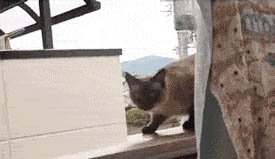 Flying cat moving picture