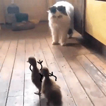 Cat afraid of ducklings free GIF download