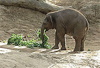 Baby elephant playing moving picture