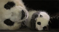Sleeping pandas animated GIF