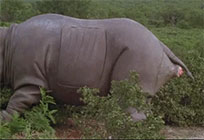 Ace Ventura rhino birth moving picture