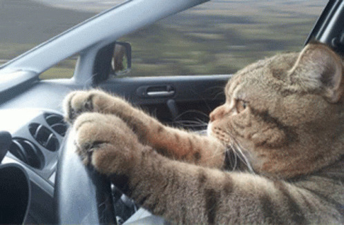 Cat Driving Serious free GIF download