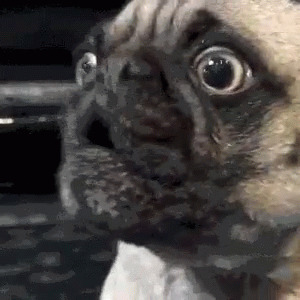 Pug Reaction moving picture
